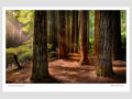 Classic-Gallery-Landscape-REDWOODS-OTWAYS-1-Photography-by-Michael-Collins